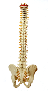 How many joints are in your spine?